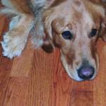 Pes podlaha, skrabance podlaha, moč parkety, zviera podlaha